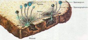 قارچ و کپک در کشاورزی