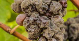 قارچ و کپک در کشاورزی aspergillus niger